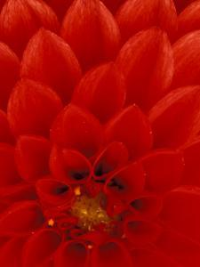 Red Dahlia Petals, Bellevue Botanical Garden, Washington, USA