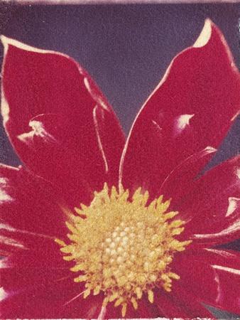 https://imgc.artprintimages.com/img/print/red-daisy-flower_u-l-pzlx3z0.jpg?p=0