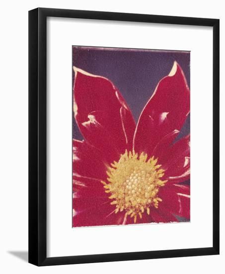 Red Daisy Flower-Natalie Fobes-Framed Photographic Print