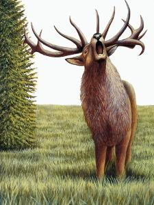 Red Deer Belling (Cervus Elaphus), Cervidae, Drawing