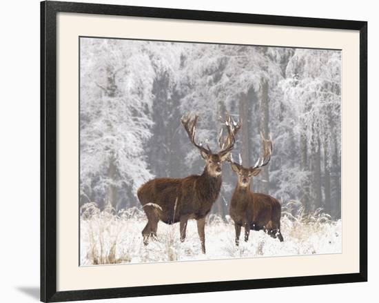 Red Deer Bucks in Snow--Framed Photographic Print