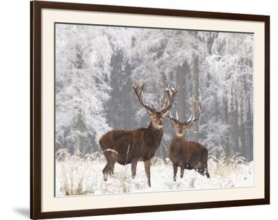 Red Deer Bucks in Snow--Framed Photographic Print