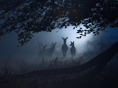 Red Deer, Cervus Elaphus, Gathering on a Misty Morning-Alex Saberi-Photographic Print