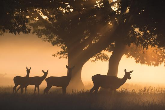 Red Deer, Cervus Elaphus, Graze in the Early Morning Mists of Richmond Park-Alex Saberi-Photographic Print