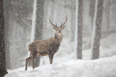 Red Deer (Cervus Elaphus) in Heavy Snowfall, Cairngorms National Park, Scotland, March 2012-Peter Cairns-Photographic Print