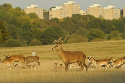 Red Deer (Cervus Elaphus) in Richmond Park with Roehampton Flats in Background, London, England, UK-Terry Whittaker-Photographic Print