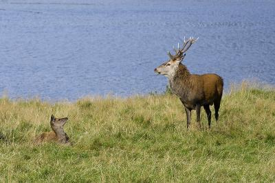 Red Deer (Cervus Elaphus) Stag and Hind During Rut on the Edge of Loch Ranza--Photographic Print
