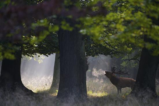 Red Deer (Cervus Elaphus) Stag Calling During Rut, Klampenborg Dyrehaven, Denmark, September-M?llers-Photographic Print