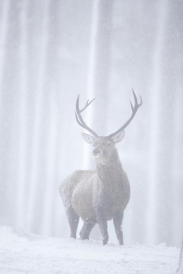 Red Deer (Cervus Elaphus) Stag in Pine Forest in Snow Blizzard, Cairngorms Np, Scotland, UK-Peter Cairns-Photographic Print