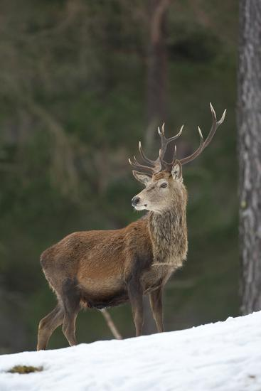 Red Deer (Cervus Elaphus) Stag in Pine Woodland in Winter, Cairngorms National Park, Scotland, UK-Mark Hamblin-Photographic Print