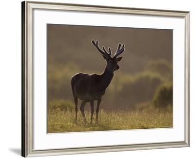 Red Deer (Cervus Elaphus), Stag in Velvet, Grasspoint, Mull, Inner Hebrides, Scotland-Steve & Ann Toon-Framed Photographic Print