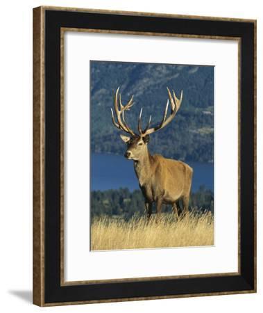 Red Deer (Cervus Elaphus) Stag on Hillside, South Island, New Zealand-Colin Monteath/Minden Pictures-Framed Photographic Print