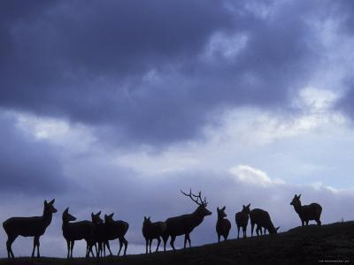 Red Deer Herd Silhouette at Dusk, Strathspey, Scotland, UK-Pete Cairns-Photographic Print