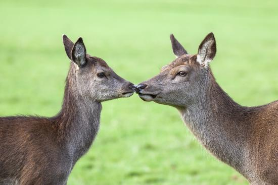 Red Deer Hind with Young (Cervus Elaphus), Arran, Scotland, United Kingdom, Europe-Ann and Steve Toon-Photographic Print