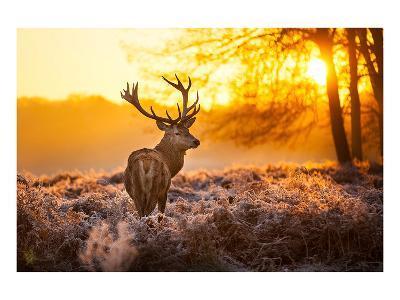 Red Deer in Morning Sun--Art Print