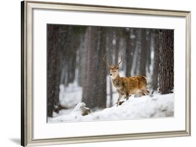 Red Deer in the Snow-Don Hooper-Framed Photographic Print