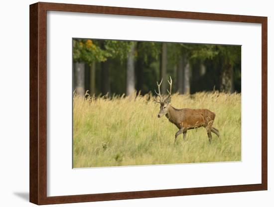 Red Deer, Saxony, Germany-Michael Breuer-Framed Photographic Print