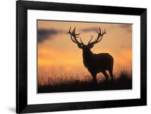 Red Deer Stag, Autumn Evening Sky