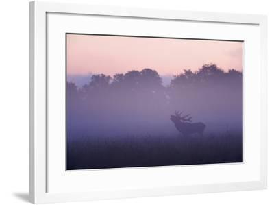 Red Deer Stag Calling During Rut, Light Mist at Sunrise, Klampenborg Dyrehaven, Denmark-M?llers-Framed Photographic Print