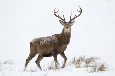 https://imgc.artprintimages.com/img/print/red-deer-stag-cervus-elaphus-on-open-moorland-in-snow-cairngorms-np-scotland-uk-december_u-l-q10o7620.jpg?p=0