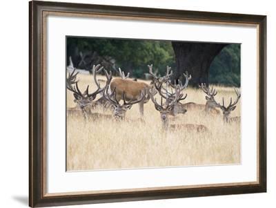 Red Deer Stag Herd in Summer Field Landscape-Veneratio-Framed Photographic Print
