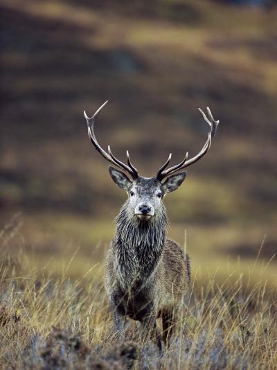 Red Deer Stag in Autumn, Glen Strathfarrar, Inverness-Shire, Highland Region, Scotland-Ann & Steve Toon-Photographic Print