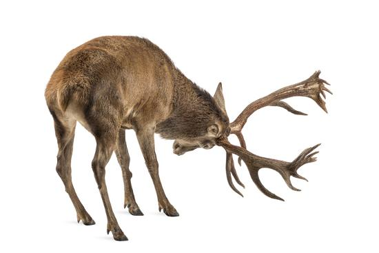 Red Deer Stag in Front of a White Background-Life on White-Photographic Print