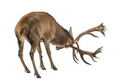 https://imgc.artprintimages.com/img/print/red-deer-stag-in-front-of-a-white-background_u-l-q105qj00.jpg?p=0