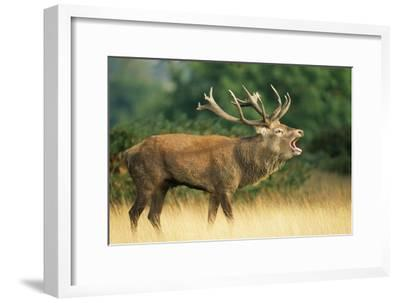 Red Deer Stag in Rut Bellows