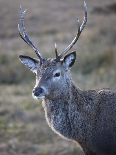 Red Deer Stag, Rannoch Moor, Near Fort William, Highland, Scotland, United Kingdom, Europe--Photographic Print