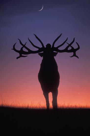 Red Deer Stag Roaring During Rutting Season, Dusk--Photographic Print
