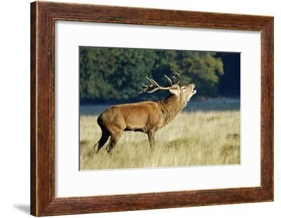 Red Deer Stag-Colin Varndell-Framed Photographic Print