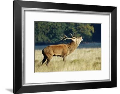 Red Deer Stag-Colin Varndell-Framed Photographic Print