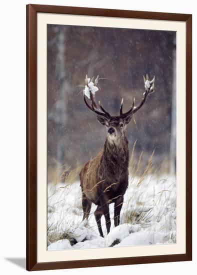 Red Deer--Framed Photographic Print