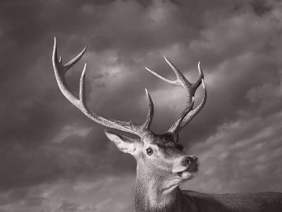 Red Deer-Tim Flach-Photographic Print
