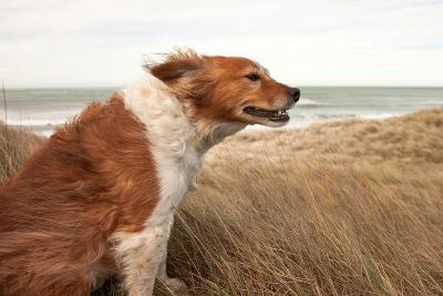Red Dog on a Windy Hillside-S Curtis-Photographic Print