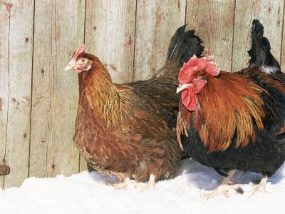 Red Dorking Domestic Chicken Cock and Hen, in Snow, Iowa, USA-Lynn M^ Stone-Photographic Print