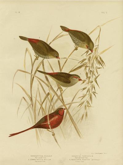 Red-Eared Finch, 1891-Gracius Broinowski-Giclee Print