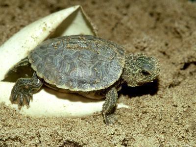 https://imgc.artprintimages.com/img/print/red-eared-slider-turtle-hatching-usa_u-l-q10rocv0.jpg?p=0