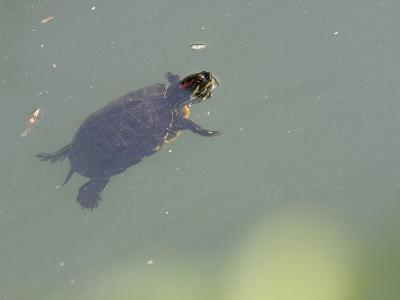 Red-Eared Slider Turtle Swimming in Water-Karine Aigner-Photographic Print