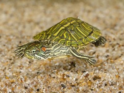 Red-Eared Turtle (Trachemys Scripta Elegans) Swimming-Joe McDonald-Photographic Print