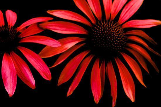 Red Echinacea-Ike Leahy-Photographic Print