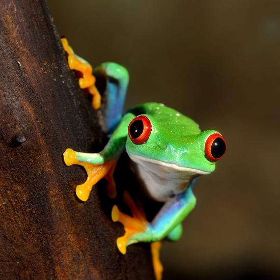 Red-Eye Frog Agalychnis Callidryas in Terrarium-Aleksey Stemmer-Photographic Print