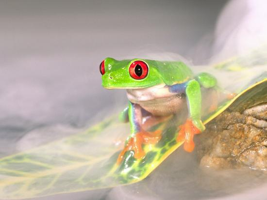 Red Eye Tree Frog in the Mist, Native to Central America-David Northcott-Photographic Print