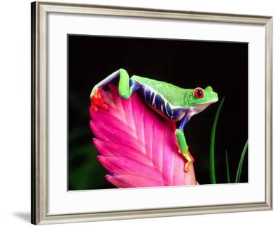Red Eye Tree Frog on Bromeliad, Native to Central America-David Northcott-Framed Photographic Print