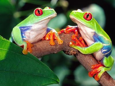 Red Eye Tree Frog Pair, Native to Central America-David Northcott-Photographic Print