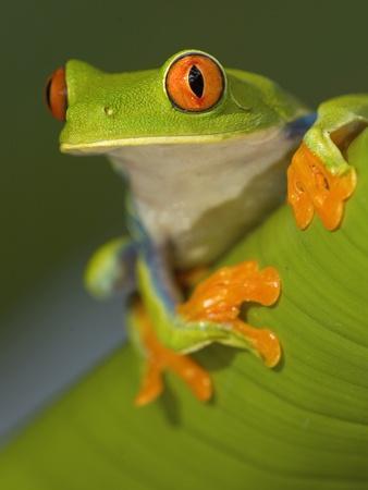 https://imgc.artprintimages.com/img/print/red-eyed-leaf-frog_u-l-pzkuto0.jpg?p=0