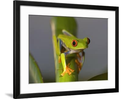 Red-Eyed Leaf Frog-Bob Krist-Framed Photographic Print