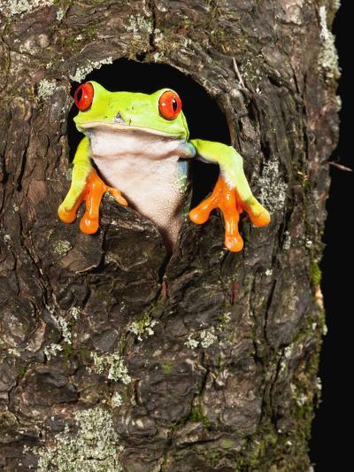 Red-Eyed Tree Frog (Agalychnis Callidryas) Peeking Out a Tree Hole-Joe McDonald-Photographic Print