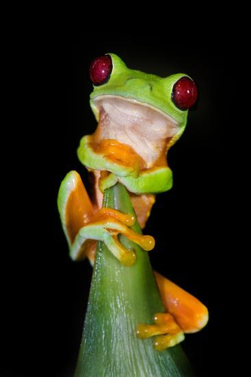 Red-Eyed Tree Frog (Agalychnis callidryas), Tarcoles River, Pacific Coast, Costa Rica--Photographic Print